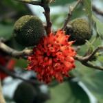 paper-mulberry-broussonetia-papyrifera